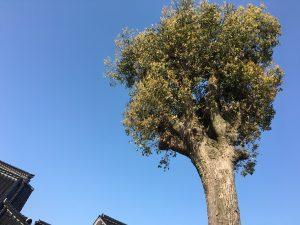 楠木樹齢300年