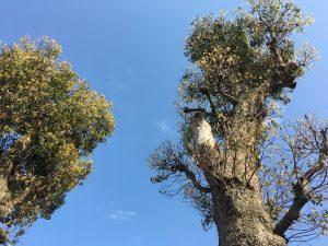 楠木樹齢200年