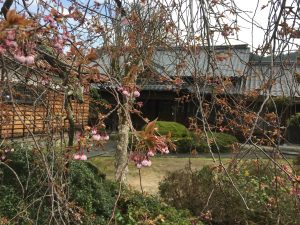 境内のしだれ桜はまだつぼみ