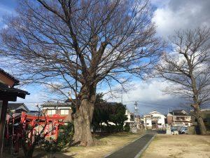 境内の銀杏の木