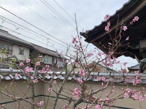 蝋梅の横の桃の花