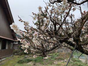 境内の梅の花