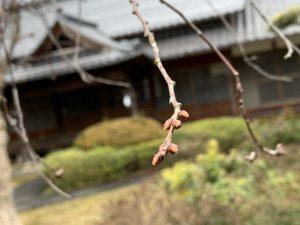 枝垂れ桜のつぼみが