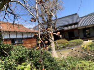 枝垂れ桜はまだまだ蕾