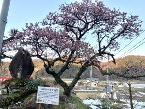 日置谷の寒桜
