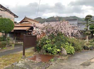 強風の中のしだれ桜