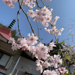 桜が綺麗だった