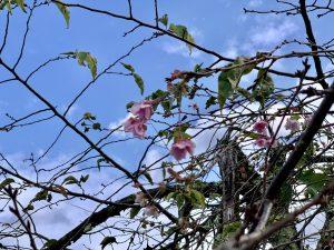なんと桜の花が